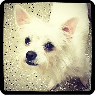 Maltese/Chihuahua Mix Dog for adoption in Grand Bay, Alabama - Sam