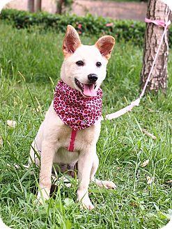 Labrador Retriever Mix Puppy for adoption in Castro Valley, California - Limi