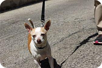 Chihuahua Mix Dog for adoption in Chicago, Illinois - Fabio
