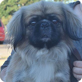 Pekingese Mix Dog for adoption in Minneapolis, Minnesota - Romeo