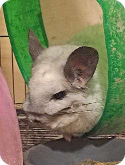 Chinchilla for adoption in Granby, Connecticut - Billy