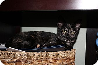 Domestic Shorthair Kitten for adoption in Tampa, Florida - Cass