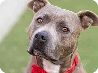 Pit Bull Terrier Mix Dog for adoption in Vista, California - Harly