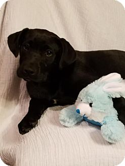 Labrador Retriever Mix Puppy for adoption in Newark, Delaware - Bart