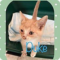 Domestic Shorthair Kitten for adoption in Wichita, Kansas - Duke