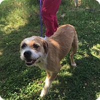 Boxer/Terrier (Unknown Type, Medium) Mix Dog for adoption in Columbus, Ohio - Oscar is reduced!
