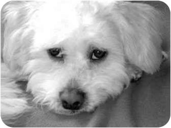 Lhasa Apso Mix Dog for adoption in Portland, Oregon - Jackson