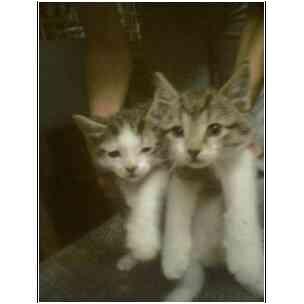 Domestic Shorthair Kitten for adoption in Owasso, Oklahoma - Brother Big