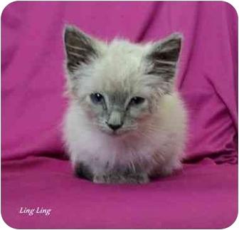 Siamese Kitten for adoption in Pisgah, Alabama - Ling Ling