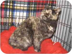 Domestic Shorthair Kitten for adoption in Colmar, Pennsylvania - Crisbelle