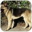 Photo 2 - German Shepherd Dog Mix Dog for adoption in Los Angeles, California - Rocky von Russell