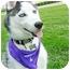Photo 3 - Husky Puppy for adoption in Detroit, Michigan - Leo
