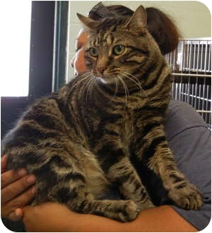 Domestic Shorthair Cat for adoption in Corpus Christi, Texas - Emmit