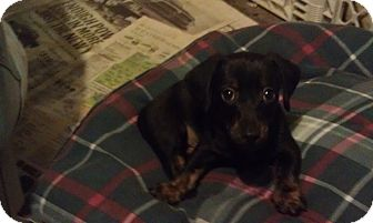 Dachshund/Beagle Mix Puppy for adoption in Youngwood, Pennsylvania - C.J.