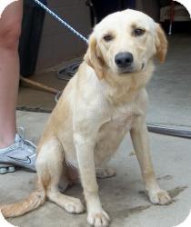 Labrador Retriever Mix Dog for adoption in Gaffney, South Carolina - Cheeka