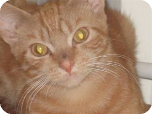 Domestic Shorthair Kitten for adoption in bloomfield, New Jersey - Marmalade