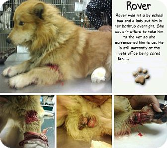 Collie Mix Dog for adoption in Wappingers, New York - Rover.. a bus ran him over!
