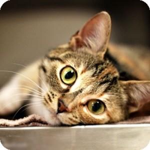 Domestic Shorthair Kitten for adoption in Athens, Georgia - Dixie