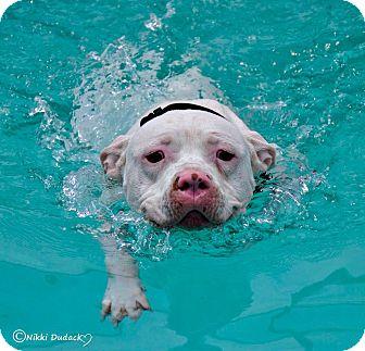 American Staffordshire Terrier/English Bulldog Mix Dog for adoption in Orlando, Florida - Roscoe