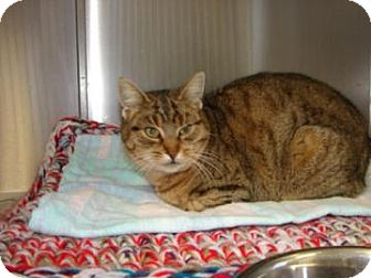 Domestic Shorthair Cat for adoption in Carsonville, Michigan - Pandora