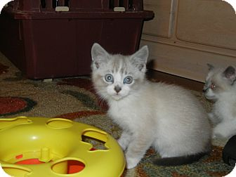 Snowshoe Kitten for adoption in Southington, Connecticut - Little Guy