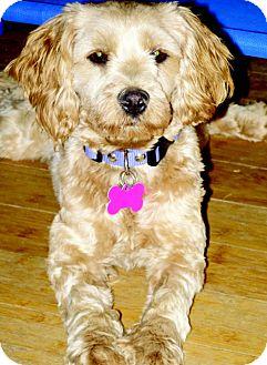 Cocker Spaniel/Poodle (Miniature) Mix Dog for adoption in Scottsdale, Arizona - Casey