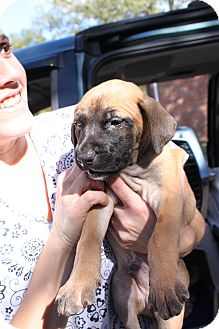 Boxer Mix Puppy for adoption in Waldorf, Maryland - Hulk