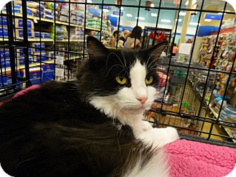 Domestic Longhair Cat for adoption in The Colony, Texas - Angelina