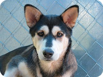 Husky Mix Puppy for adoption in Henderson, North Carolina - MISTY