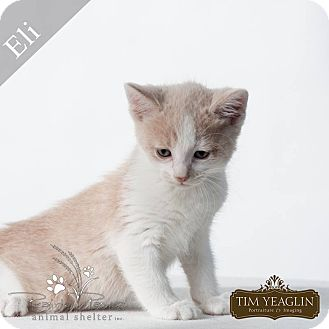 Maine Coon Kitten for adoption in Overland Park, Kansas - Eli