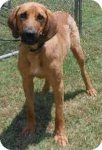 Bloodhound/Redbone Coonhound Mix Dog for adoption in Sweetwater, Tennessee - Cleatus