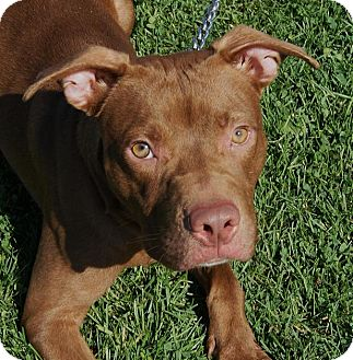 American Pit Bull Terrier Mix Dog for adoption in Monroe, Michigan - Toby