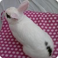 Adopt A Pet :: Hobo - Maple Shade, NJ