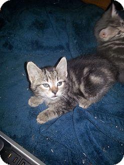 Domestic Shorthair Kitten for adoption in Smithfield, North Carolina - Lyca
