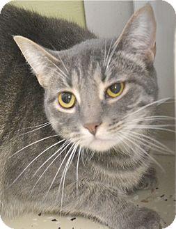 Domestic Shorthair Cat for adoption in Davenport, Iowa - Mckenzie