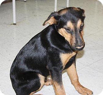 Shepherd (Unknown Type)/Hound (Unknown Type) Mix Dog for adoption in Cottageville, West Virginia - Beowulf