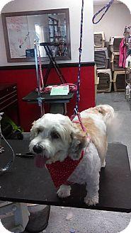 Poodle (Standard) Mix Dog for adoption in Las Vegas, Nevada - Samantha