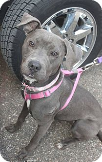American Staffordshire Terrier/Pit Bull Terrier Mix Dog for adoption in Detroit, Michigan - Candy-Adopted!