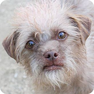 Terrier (Unknown Type, Small)/Yorkie, Yorkshire Terrier Mix Dog for adoption in Las Vegas, Nevada - Smokey*ADOPTION FEE WAIVED**