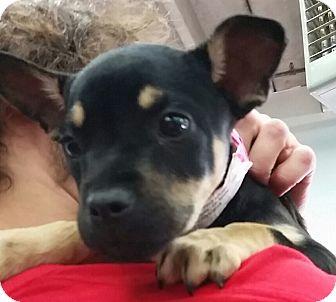 Labrador Retriever/Boxer Mix Puppy for adoption in Colorado Springs, Colorado - Crescent