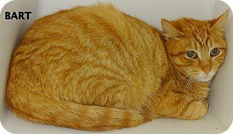 Domestic Mediumhair Cat for adoption in Lapeer, Michigan - BART---A GREAT BARN CAT??
