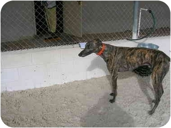 Greyhound Dog for adoption in St Petersburg, Florida - Charley