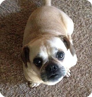 Pug Dog for adoption in Ashland, Kentucky - Puggy