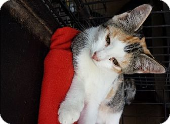 American Shorthair Kitten for adoption in Marion, North Carolina - Candy Corn