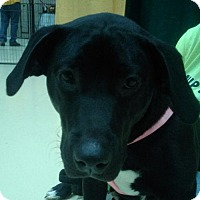 Labrador Retriever Mix Dog for adoption in Winder, Georgia - Raven