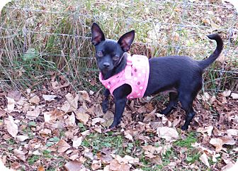 Chihuahua Mix Dog for adoption in Conesus, New York - Chimama