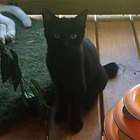 Domestic Shorthair Cat for adoption in Transfer, Pennsylvania - Duchess