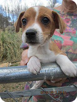 Chihuahua/Dachshund Mix Puppy for adoption in Rutherfordton, North Carolina - KENJI