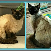 Adopt A Pet :: Sinatra - Hastings, FL