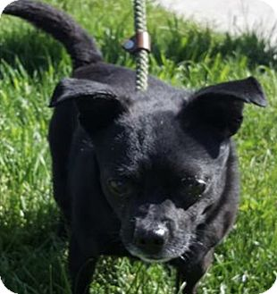Chihuahua Mix Dog for adoption in Taylor, Michigan - BUCK ❤